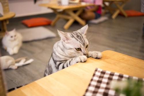 CatCafeDome ネコと机