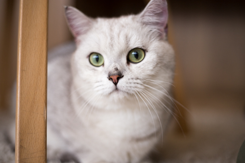 【バンコクの猫カフェ】トンローの「Purr Cat Cafe Club」に行ってみた!開店11時が狙い目!