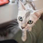 【バンコクの猫カフェ】ラチャテウィーの「Caturday Cat Cafe」へ行ってみた!