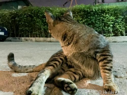 タイの野良猫 ロン