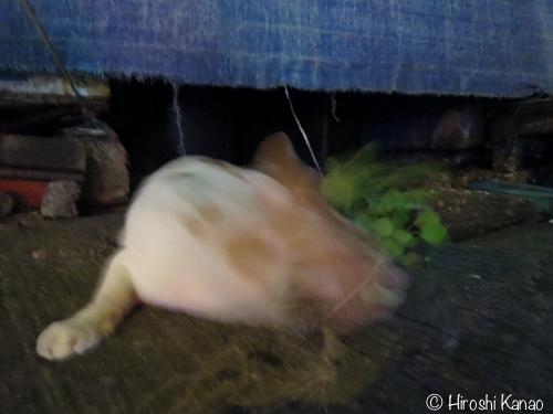 バンコク 猫 またたび10
