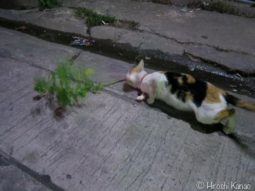 バンコク 猫 またたび4