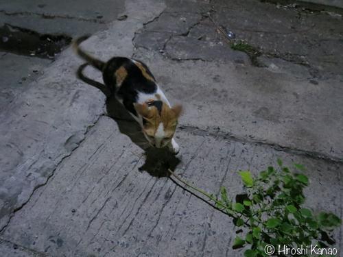 バンコク 猫 またたび