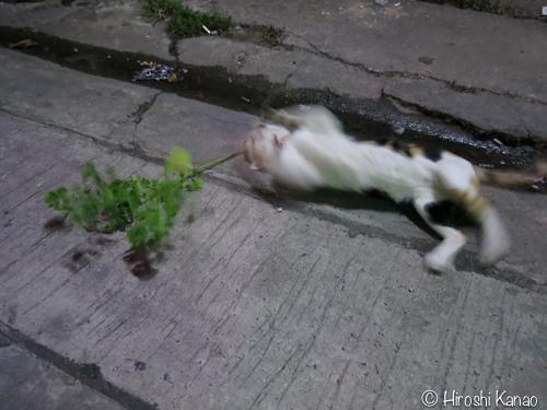 バンコク 猫 またたび5