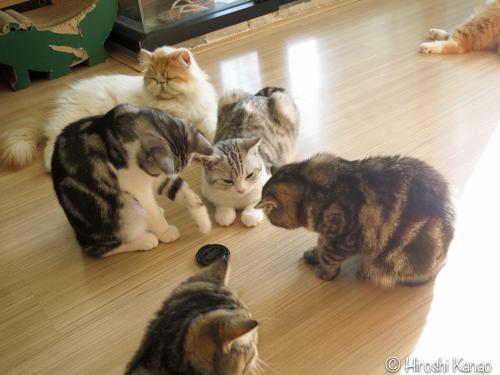 プーケット 猫カフェ b cat cafe 6
