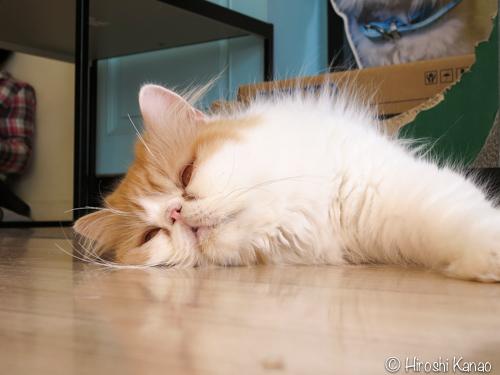 プーケット 猫カフェ b cat cafe 7