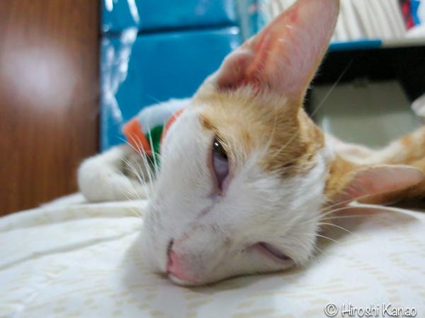タイ猫 人懐っこい ウボン 10