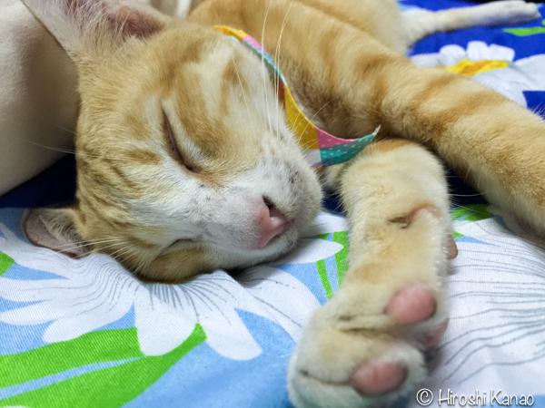 タイ猫 人懐っこい ウボン 2