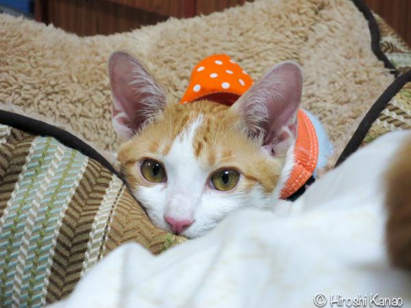 タイ猫 人懐っこい ウボン 8