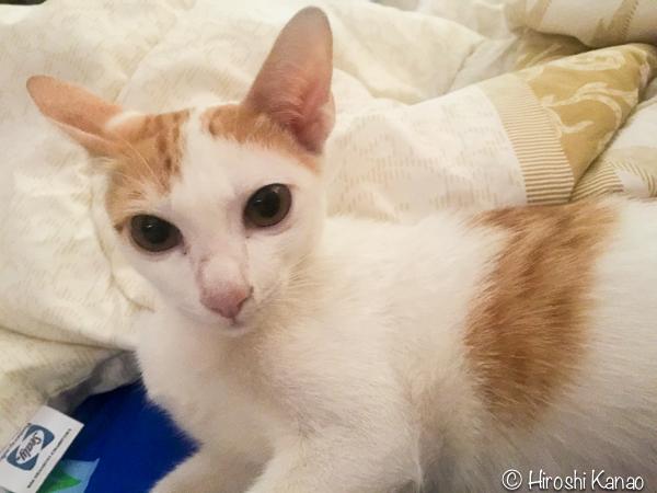 タイ猫 人懐っこい ウボン 3