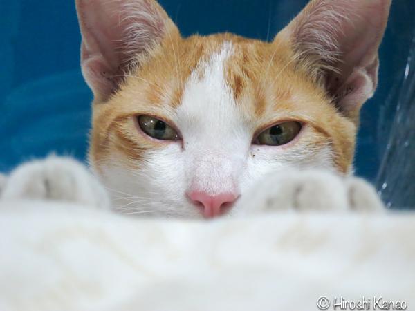 タイ猫 人懐っこい ウボン 7
