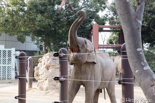 タイから贈られたゾウ アティ ウタイ 上野動物園 9