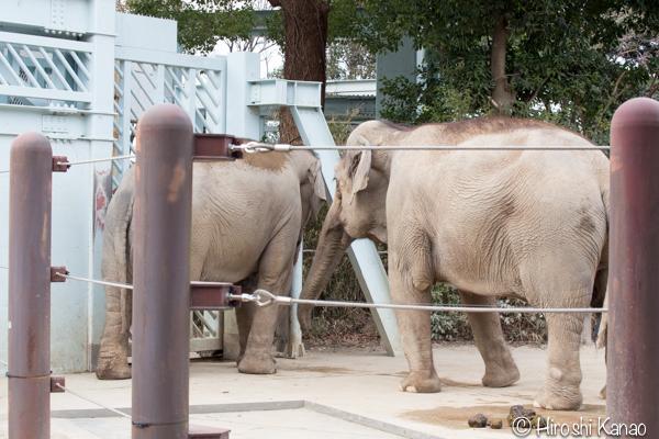 タイから贈られたゾウ アティ ウタイ 上野動物園 16