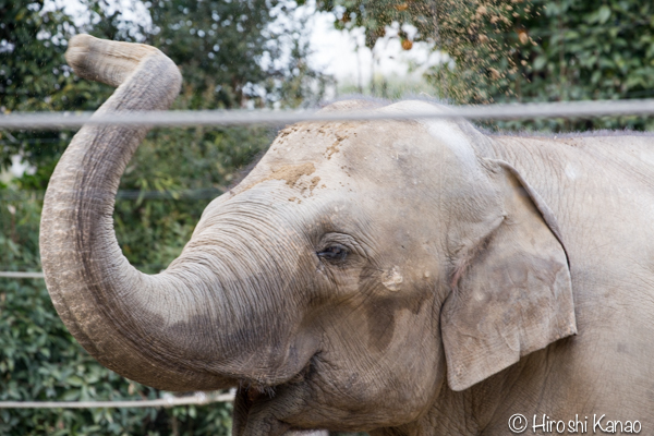 タイから贈られたゾウ アティ ウタイ 上野動物園 14