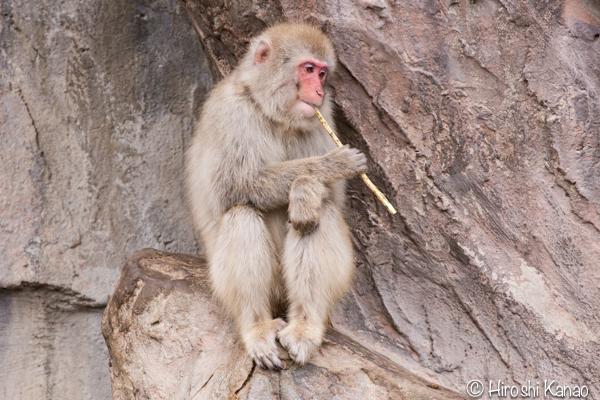 タイから贈られたゾウ アティ ウタイ 上野動物園 18