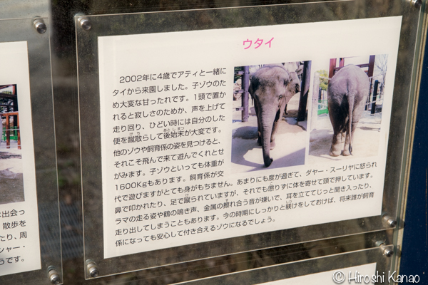 タイから贈られたゾウ アティ ウタイ 上野動物園 8