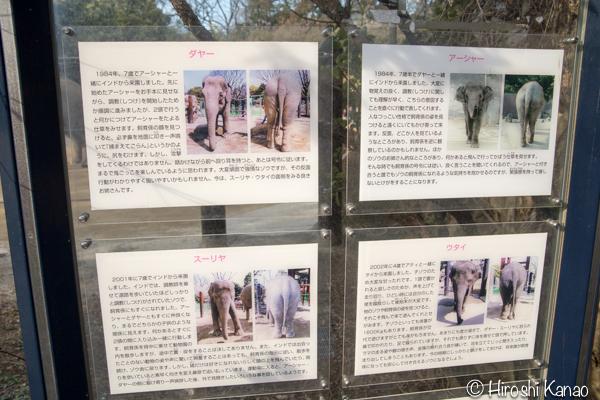 タイから贈られたゾウ アティ ウタイ 上野動物園 7