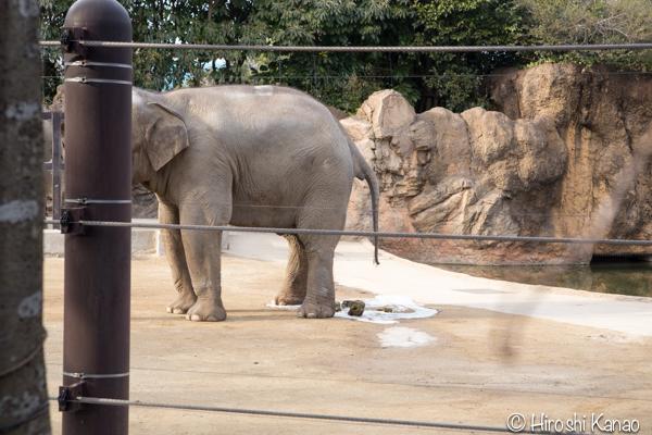 タイから贈られたゾウ アティ ウタイ 上野動物園 6