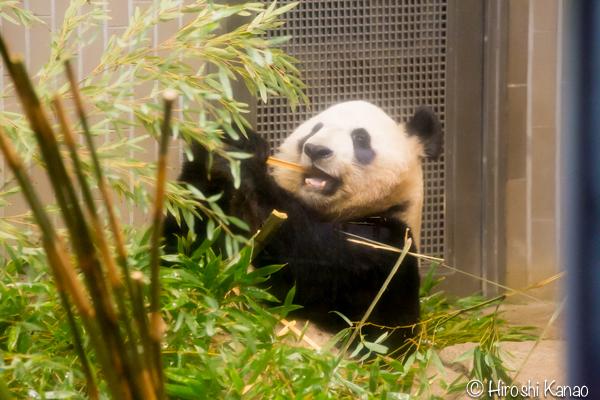 タイから贈られたゾウ アティ ウタイ 上野動物園 23