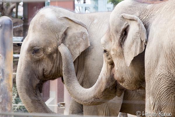 タイから贈られたゾウ アティ ウタイ 上野動物園 10