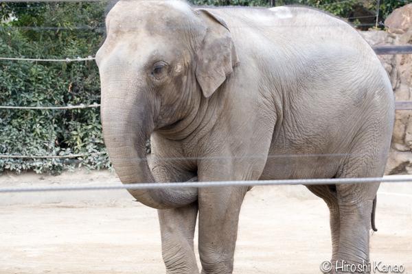タイから贈られたゾウ アティ ウタイ 上野動物園 12