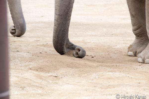 タイから贈られたゾウ アティ ウタイ 上野動物園 15